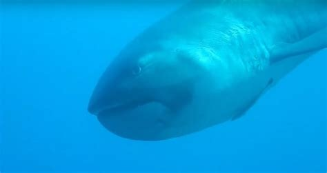 extremely rare megamouth shark caught  video  indonesia