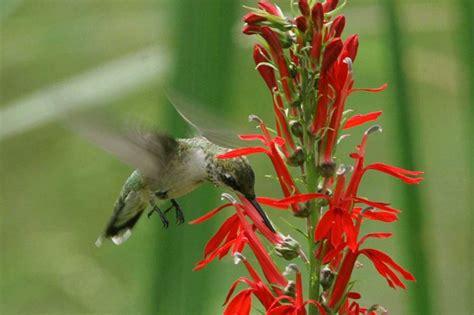 cardinal flowers  attract hummingbirds