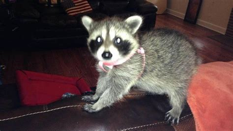 raccoons as pets couple upset after pet raccoon confiscated killed news thepilot com