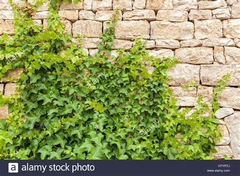 Plant On Wall Creeper Over Brick Wall Texture Of The