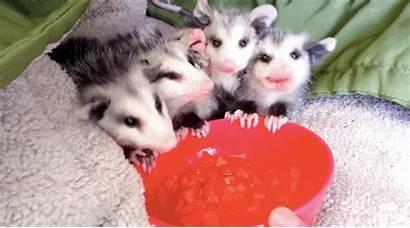 Rescued Possum Possums Bites Watermelon Eating Opossum