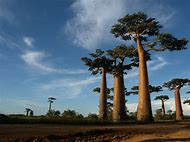 Madagascar Baobab Tree Facts
