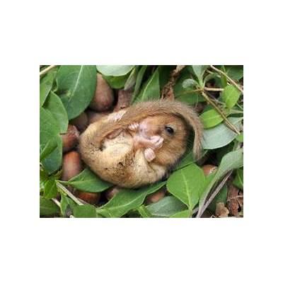 The dormouse: hibernation diet & habitat - Saga
