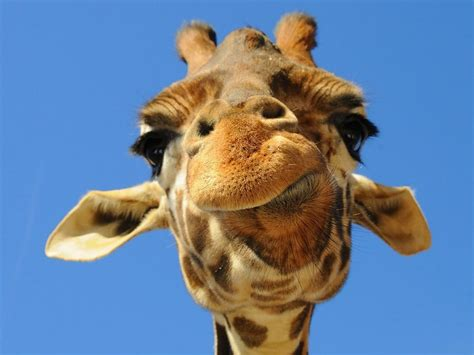 Lustige Giraffe Hintergrundbild Hintergrundbilder