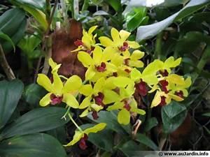 Comment Soigner Une Orchidée : orchid e bambou dendrobium planter cultiver multiplier ~ Farleysfitness.com Idées de Décoration