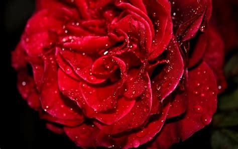 p rose wallpaper wide screen wallpaper pkk