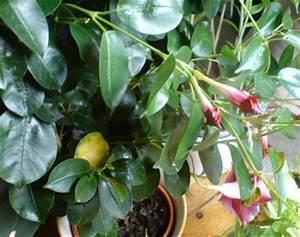 Schädlinge Zimmerpflanzen Klebrige Blätter : dipladenia gelbe klebrige bl tter ~ Lizthompson.info Haus und Dekorationen