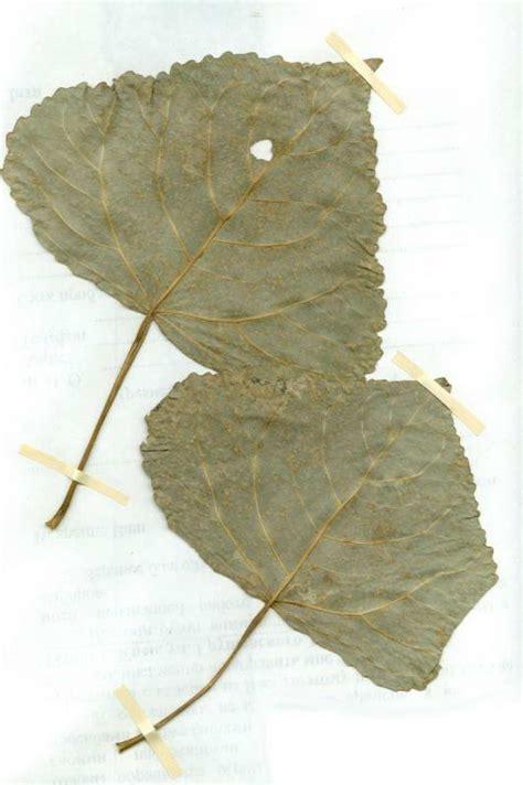 http://www.myslenedrevo.com.ua/uk/Sci/Kyiv/Islands/Nature/1-9-Mochy/bryophyta-fungi-lichenes-algae/melampsora_alli_populina-kyiv.html