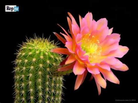 meraviglia della natura  sbocciano  fiori del cactus