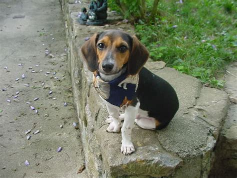 Dachshund Beagle Mix 27 Background Wallpaper