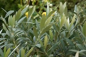 Olivenbaum Im Wohnzimmer überwintern : olivenbaum in der wohnung berwintern so gelingt es ~ Markanthonyermac.com Haus und Dekorationen