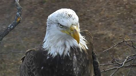 aef dc eagle cam 2 feb 2017 another sub adult visitor