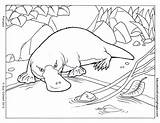 Pages Platypus Coloring Colouring Animal Outline Mammals Drawings Picolour sketch template
