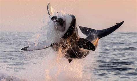 Kelly Slater Shark