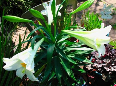lys de la madone lilium candidum