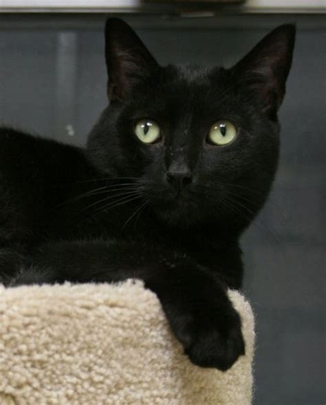 adopt  black cat  pre halloween rescue event njcom