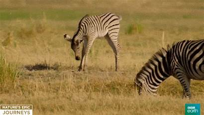 Giphy Africa Gifs Wildlife Bbc Tweet Earth