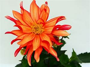 Pflegeleichte Zimmerpflanzen Mit Blüten : sch ne zimmerpflanzen erf llen die rolle von dekoration ~ Sanjose-hotels-ca.com Haus und Dekorationen
