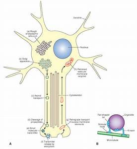 Histology Of The Nervous System  The Neuron  Part 1