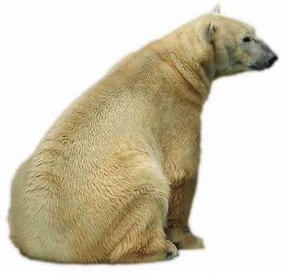 Oso Polar Sentado Imagen Winner
