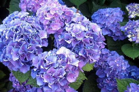 significato dei fiori ortensia ortensie significato ortensia il significato dei fiori