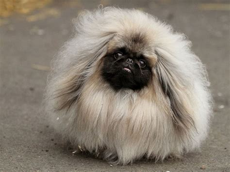 reasons      pekingeses
