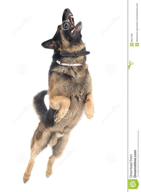 jump dog  white background royalty  stock image