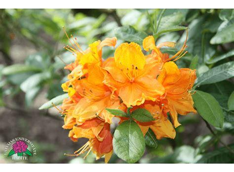 Latvijas stādi - Rhododendron 'Glowing Embers ...