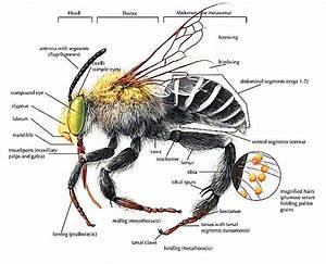 Bee Anatomy Diagram