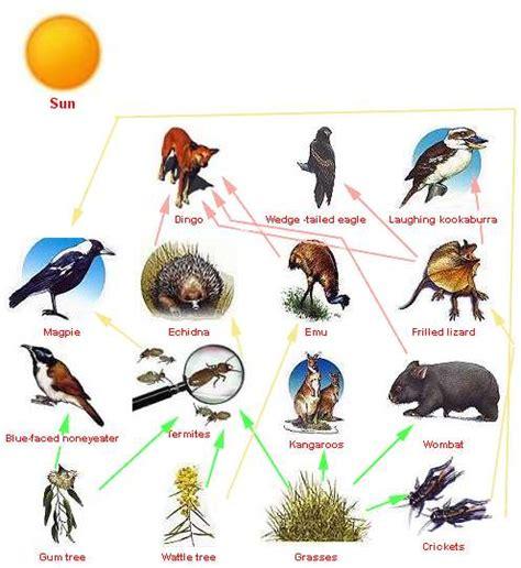 animals   food chain eat  dingo   top