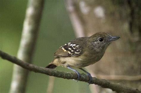 Improving 'silvopastures' for bird conservation | The ...