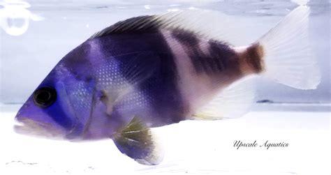 hamlet grouper indigo