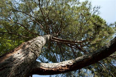pin parasol pin d 233 couvrir nos arbres arbres environnement urbain et espaces verts