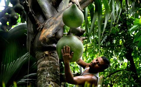 India's only double coconut tree artificially pollinated ...