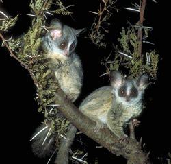 primate factsheets lesser bushbaby galago behavior