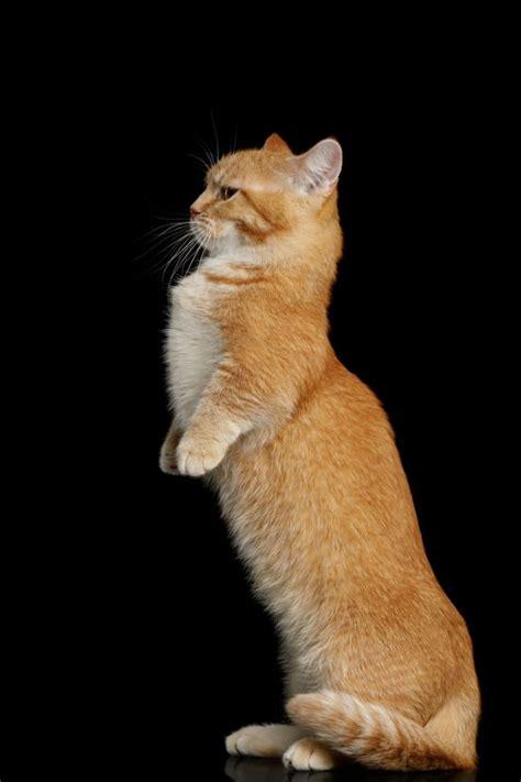 21 Adorable, Shortlegged Munchkin Cats Inspiremore