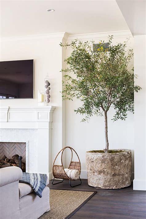 indoor tree indoor olive trees