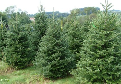 28 best oregon christmas tree growers oregon christmas