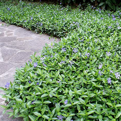 garden shrubs 3 x vinca minor small white periwinkle evergreen shrub hardy garden plant in pot