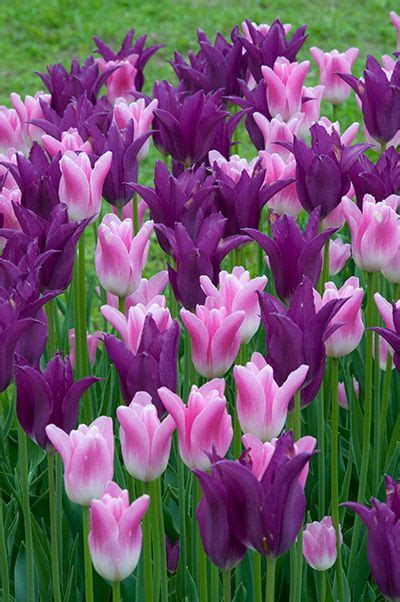 1000 ideas about bulbs for sale on tulip