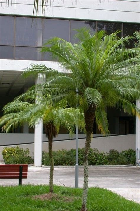 Phoenix roebelenii - Palmeira-fênix - Nativa da Tailândia ...