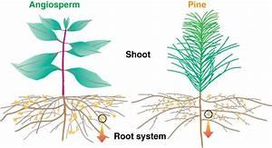 Mycorrhizal Associations  Ectomycorrhizas