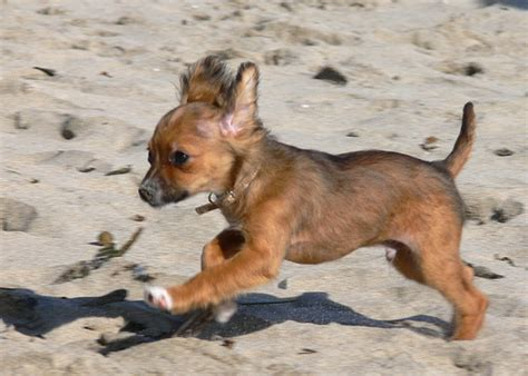 Long Haired  Ee  Chihuahua Ee   Puppy P O By Chuck Rogers View