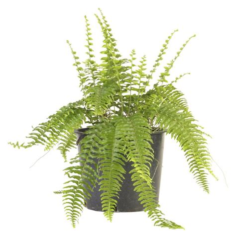 are boston ferns toxic to cats