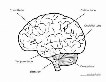 Brain Diagram Human Labeled Anatomy Blank