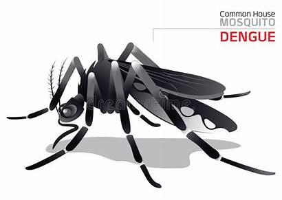 Dengue Mosquito Aedes Spread Common Countries Vector