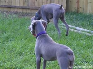 Blue - Weimaraner - Dog Breeds