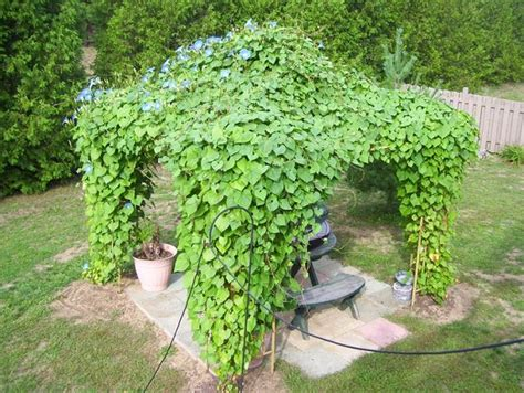 19 Best Pergola Plants  Climbing Plants For Pergolas And
