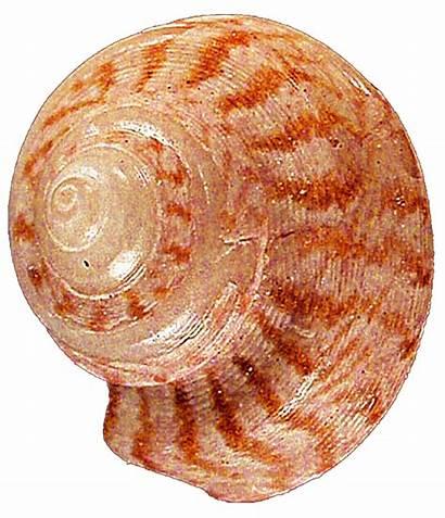 Seashell Spiral Orange Jeanicebartzen27 Striped Deviantart Clipart