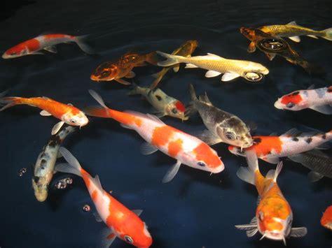 fische für teich kaufen teichfische koi g 252 nstig kaufen in dodendorf bei magdeburg